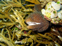 The Moray Eel may also be the ugliest animal on earth: image credit - Wikipedia