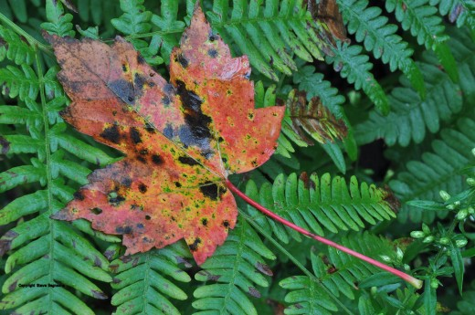A maple leaf rests on fiddlehead fern leaves near the creek. The tree it is from has lost half of its leaves already -- many weeks early.