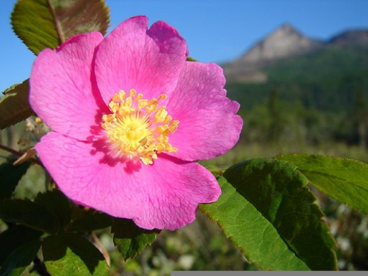Wild roses are hardy and beautiful alternatives to drought-sensitive tea roses. Photo by jswieringa.