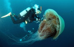 Giant Jellyfish Invade Japan:  Poetic Justice?