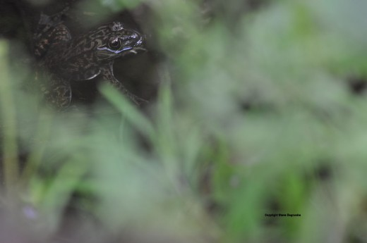 A leopard frog peers out from the creek partially hidden by grasses and plants.