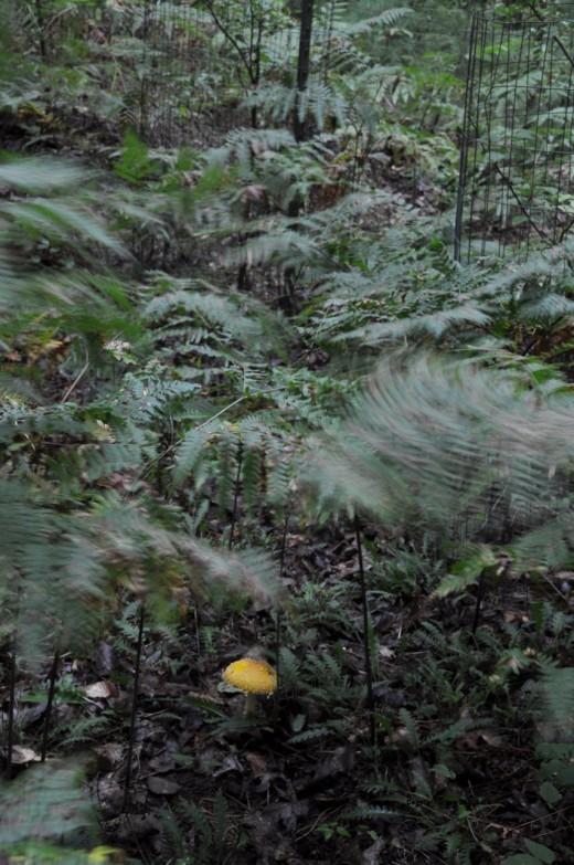 A mushroom glows beneath fiddlehead ferns swaying the breeze this morning.