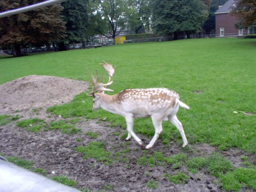 A Miniature Deer in the City Open Zoo