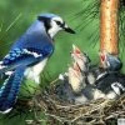 Blue Jay Blues (short story)