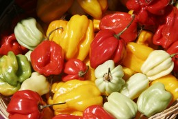 Habaneros: one of the hottest peppers around!