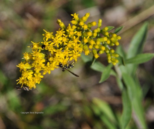 There are at least three different insects on this strand of goldenrod. (At least that's what I think the flowering plant is.)