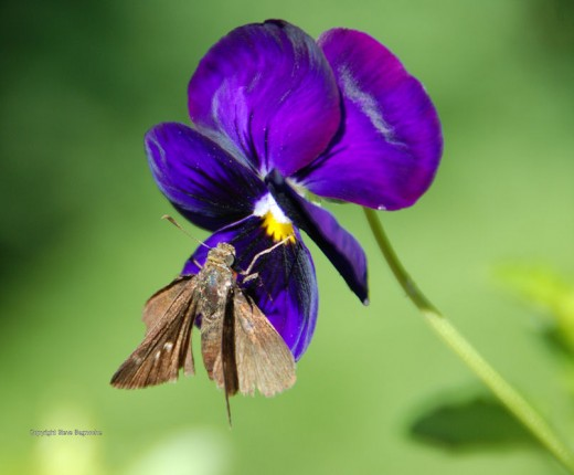 I'm not sure what the moth on the pansy is, but it made a nice photo.