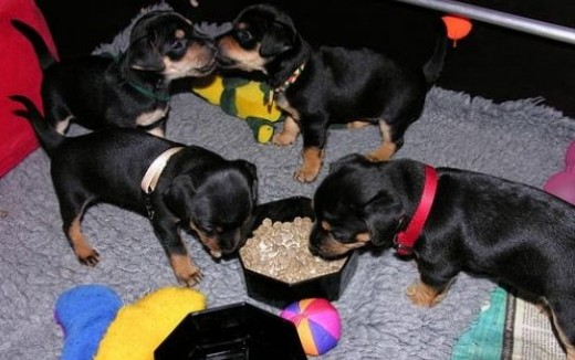 "Flickr image: **Mirm**; ""Learning to eat puppy-food!"""