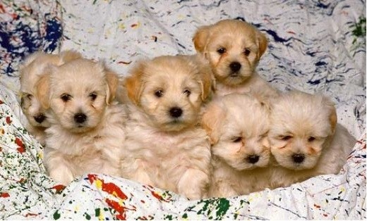 "Flickr image: vanallensb; ""White Mixed Breed Puppies"""