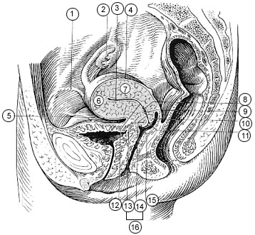 Female Pelvis and Uterus