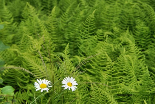 Two small flowers stand out from a sea of U.P. ferns.