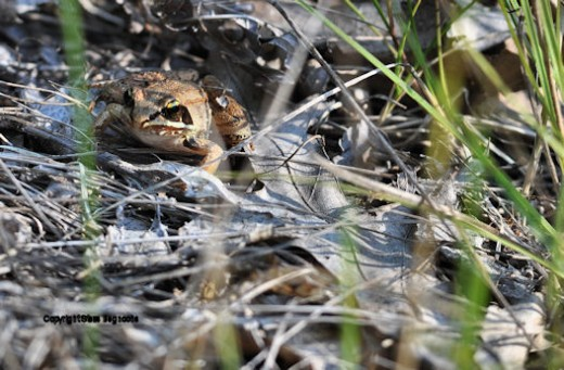 The 'robber's mask' is one way to identify the wood frog.