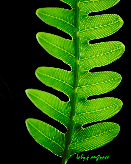 fern frond showing patterns in both leaflets and veins