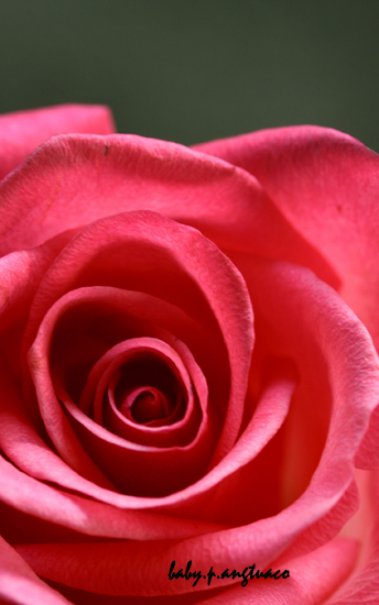 The folds in the petals of a rose follow a pattern