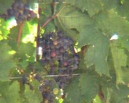 Palisade grapes on the vine