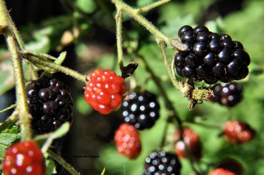 Blackberries are ripening now that the sun has returned.