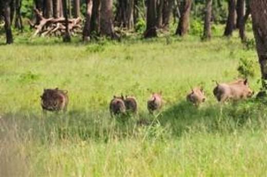 wathogs roaming in the wild