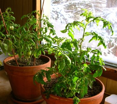 You can grow and enjoy tomatoes throughout the winter indoors. Cherry or Grape varieties work best though full size tomatoes can be grown.