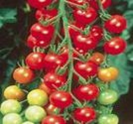 Delicious Cherry Tomatoes Growing Indoors