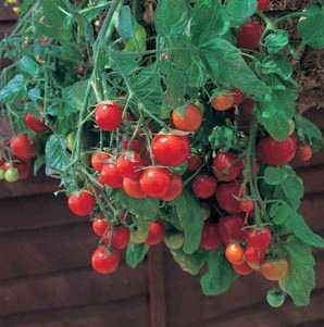 Hanging Basket of Cherry Tomatoes Growing Indoors