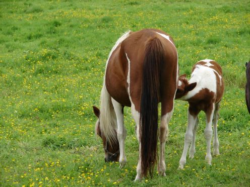 Mare and foal enjoying the peace - Brittany - France