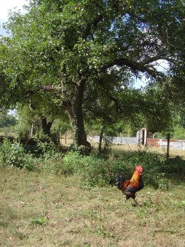 Apple trees in the chicken runs