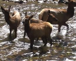 wild elk in Estes Park