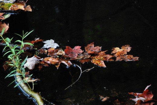 Yes,another picture of colored leaves floating on the creek. There'll be more to come, too, as the leaf season is still a couple weeks away. But note there are more leaves on the water than a week or so ago.