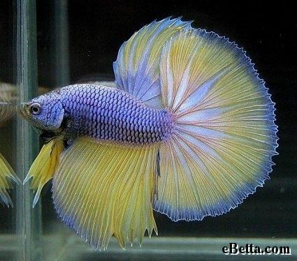 http://www.ebetta.com/2007/10/10/betta-spotlight-yellow-indigo-betta-fish/