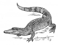 Evolution of Alligators and Crocodiles