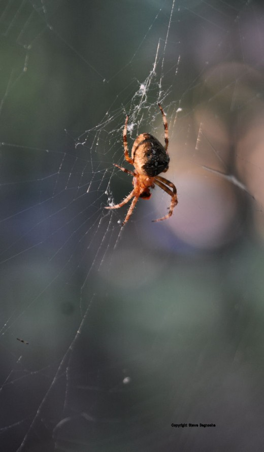 A cross orbweaver spider works on a victim in its web in the upper yard.