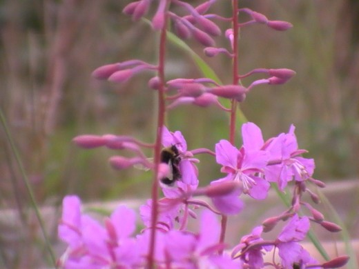 A bumble bee pollinating flowers