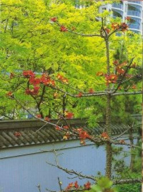 A rare silk-cotton tree (Bombax ceiba) backdropped by a boundary wall and gleditsias beyond.
