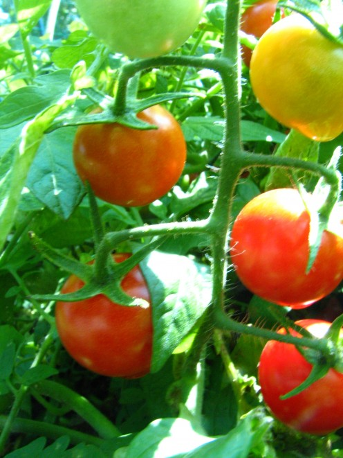 Cherry Tomatoes lower the risk of cancer and heart disease.