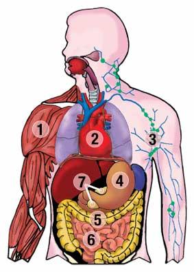 Human gut system
