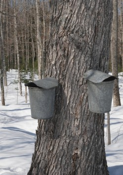 Old Fashioned Maple Sap Collection