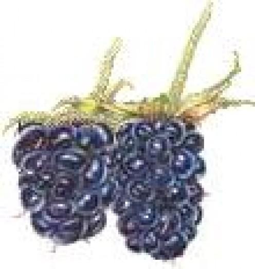Blackberries:  They were huge!
