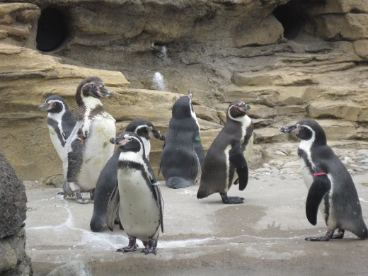 Penguins at Seattle's Woodland Park Zoo