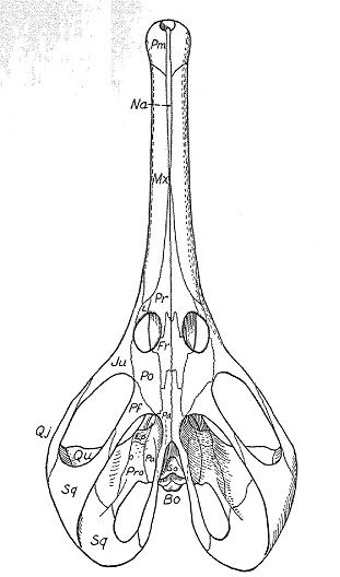 The skull of Champsosaurus in dorsal view. Modified from Russell, L. S. 1956. The Cretaceous reptile Champsosaurus natator Parks.
