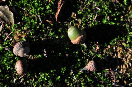 When can an acorn cast a long shadow? In early morning or late afternoon light.