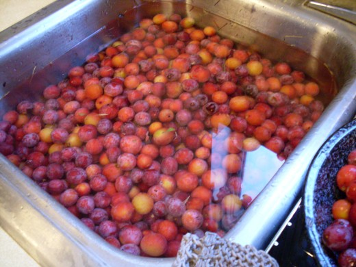 Place freshly picked plums in a sink-full of cool water and rinse them free of dirt, leaves, sap, and other matter.