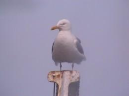 Glacous-winged seagull, Holyhead, Wales, U.K.