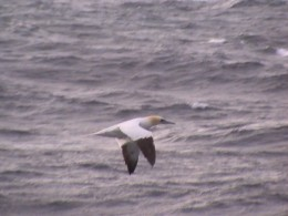 Short-tailed albatross, Arctic Circle going to Russia