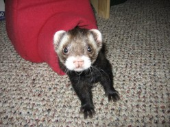 A Guide To Ferrets