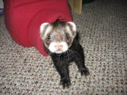 Carrot the Ferret (at the Bridge)