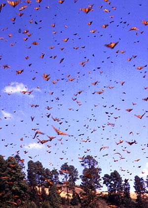 The skies fill with Monarchs as they gambol in the sun.