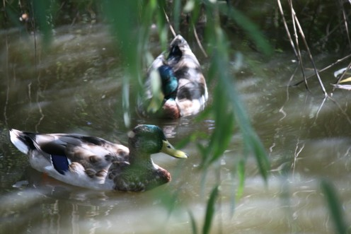Several varieties of wild ducks are co-habitating here quite peacefully.