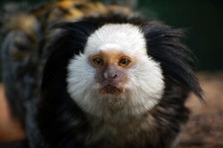Geoffroy's Marmoset Monkey