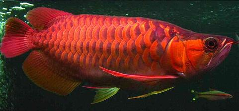 The red or chilli arowana