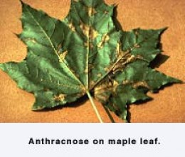 Maple leaf anthracnose.  Ohio State University Extension Plant Pathology.